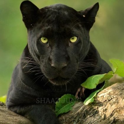 black panther pictures of kabini