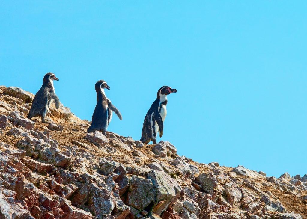 penguins in peru